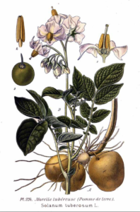 Drawing of a potato plant from 1891