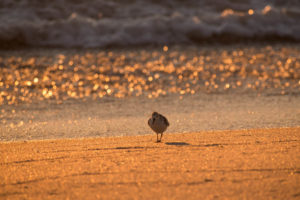 Sanderlings, Photography