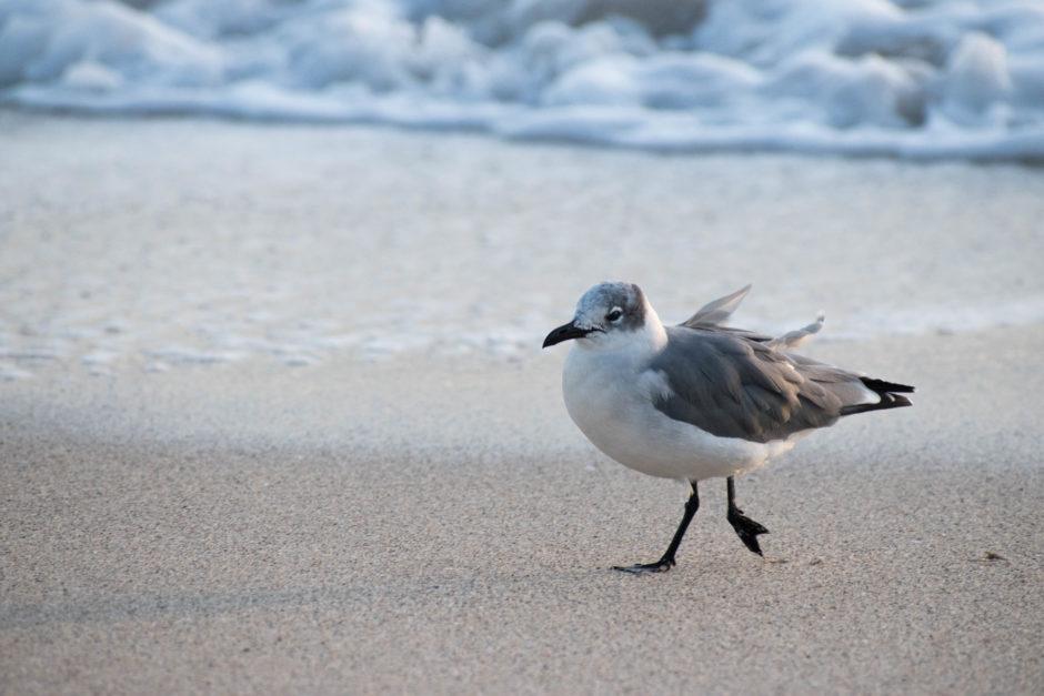 Sanderlings in Ft. Lauderdale