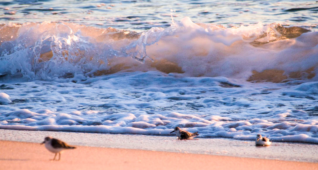 Ft. Lauderdale sanderlings