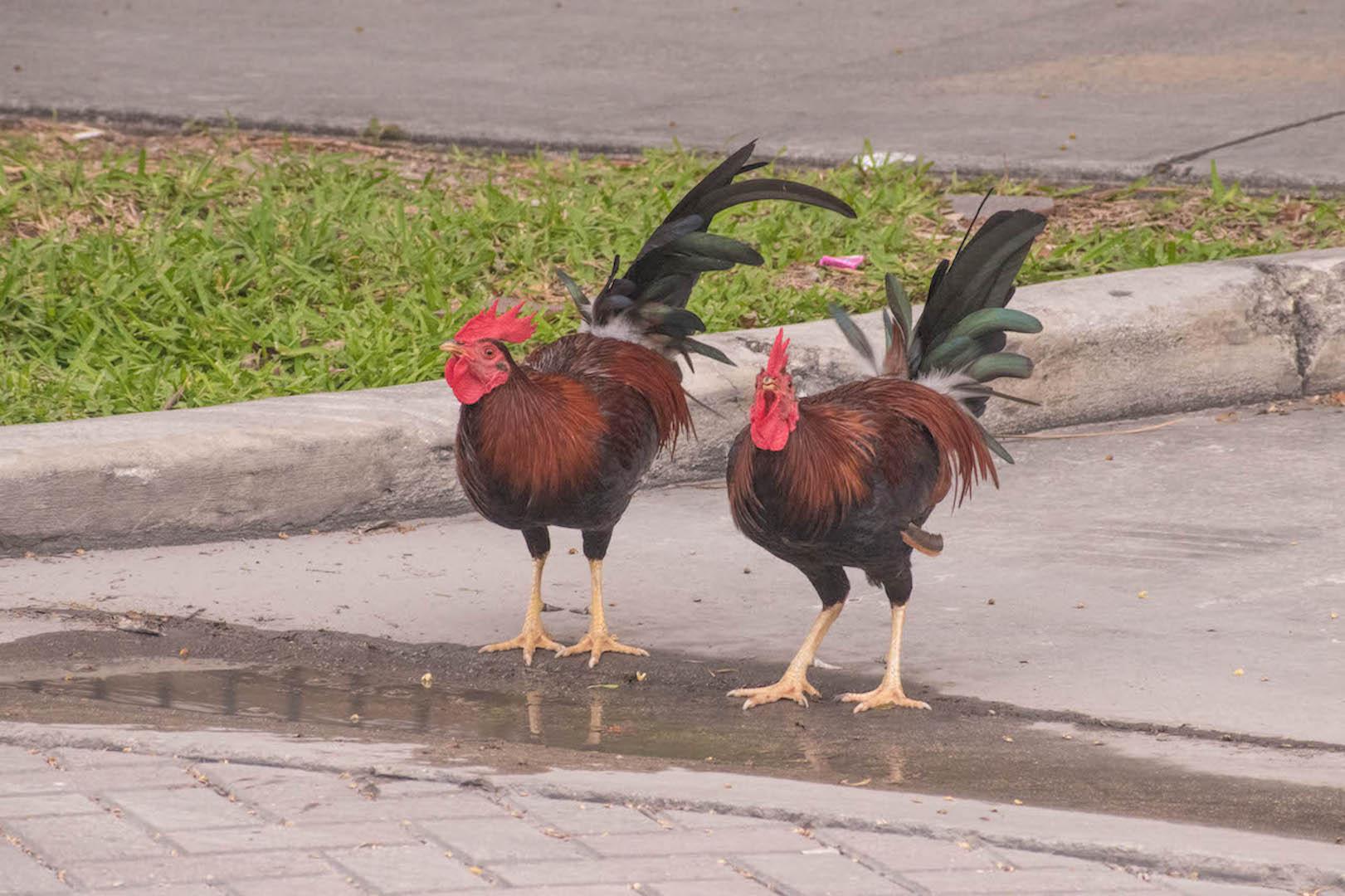 Cubalaya Key West roosters