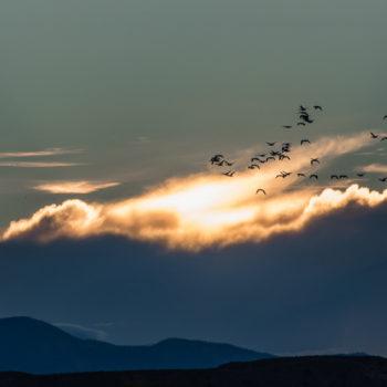 wildlife, migration, birds